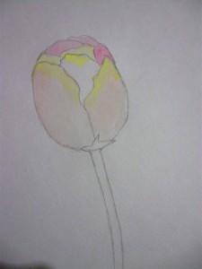 урок рисования, тюльпан акварелью